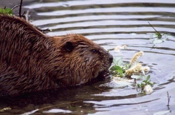 Écologie  Écologie  Les dégâts des castors seront indemnisés